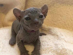 Purrxotics Cattery Sphynx Kittens