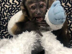 Black Capuchin Monkey For Sale