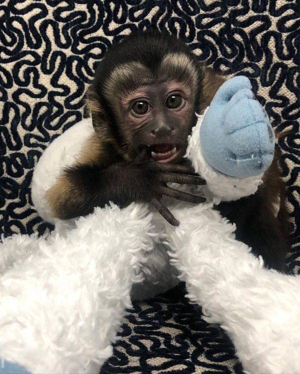 Black Capuchin Monkey For Sale