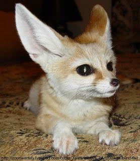 Meet Asa, the fennec fox!