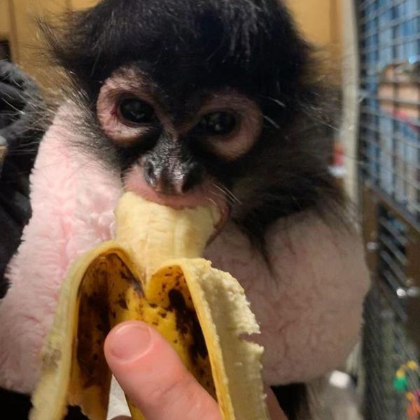 Male Spider Monkey For Sale