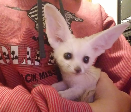 Fennec Foxes Available