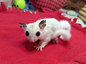 Maya sugar gliders for sale