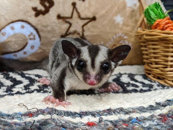 Female Gray Sugar glider