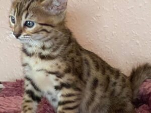 Beautiful Pedigree Bengal Kittens