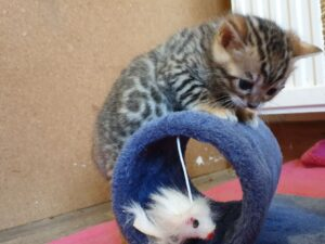 Bengal Kittens Stunning Tica Registered