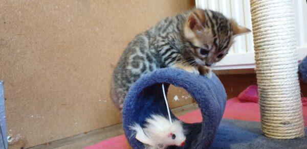 Bengal Kittens Stunning Tica Registered