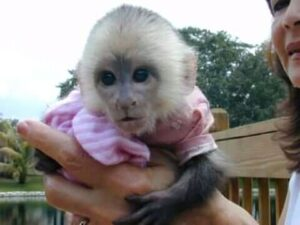Male White Face Capuchin