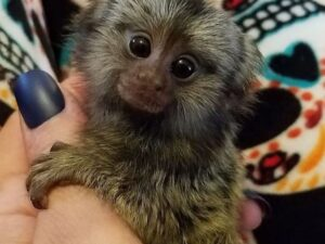 Female Marmoset Monkeys