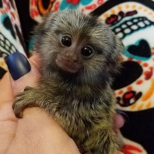 Female Marmoset Monkeys