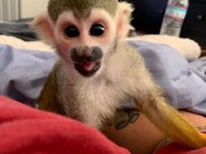 Female Squirrel Monkey For Sale